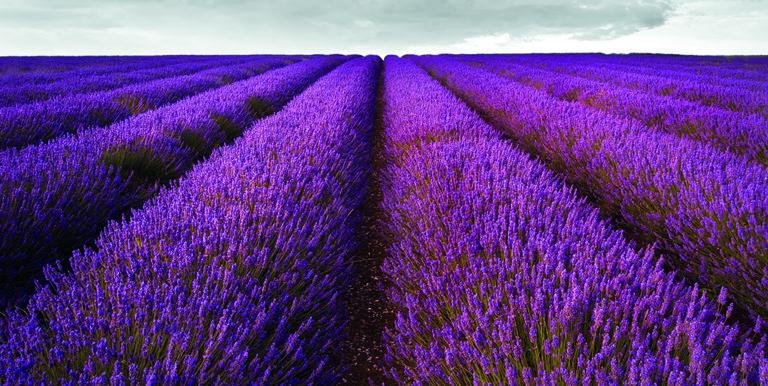 Hitchins Lavender Fields
