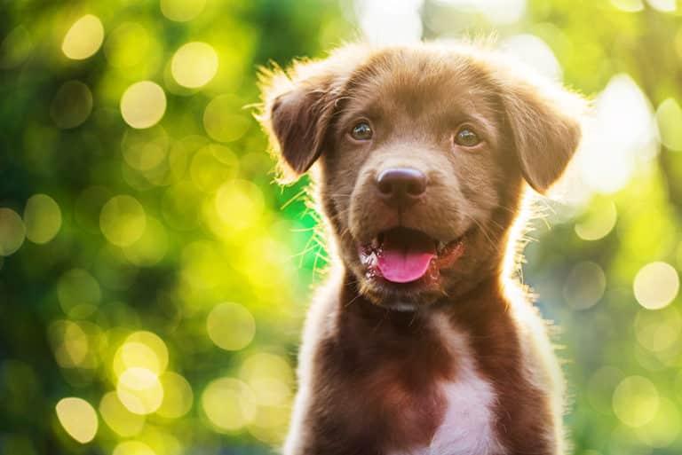 Labrador retriver puppy